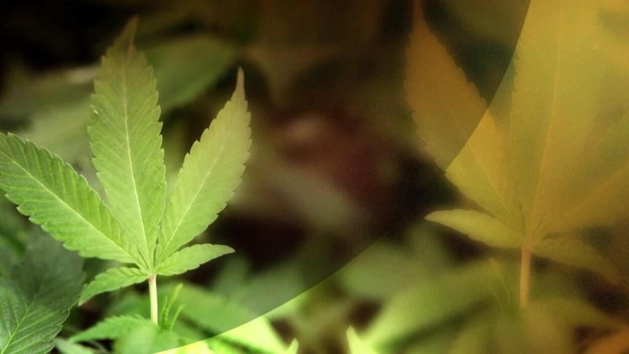 Des feuilles de marijuana