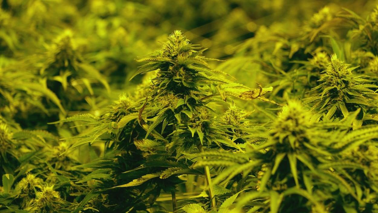 Des plantes de marijuana dans les installations d'Aurora Cannabis.
