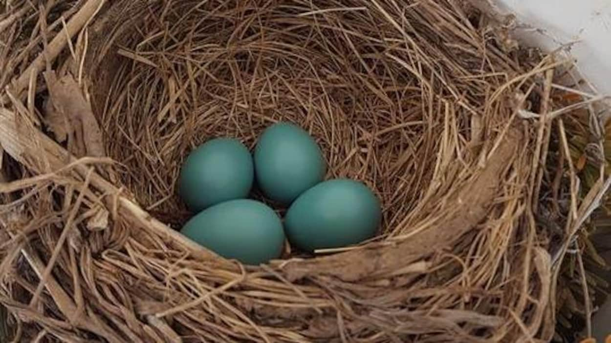 Quatre oeufs verts dans un nid