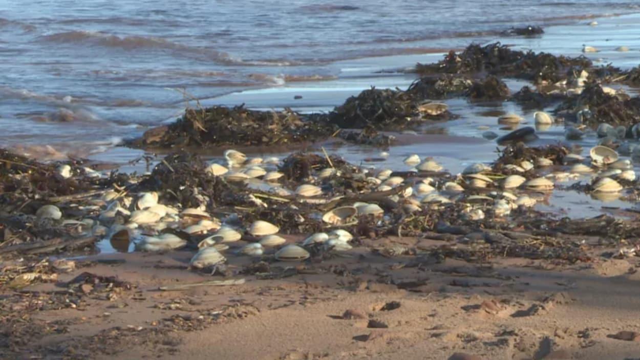 Des dizaines de palourdes sont échouées au travers des algues.