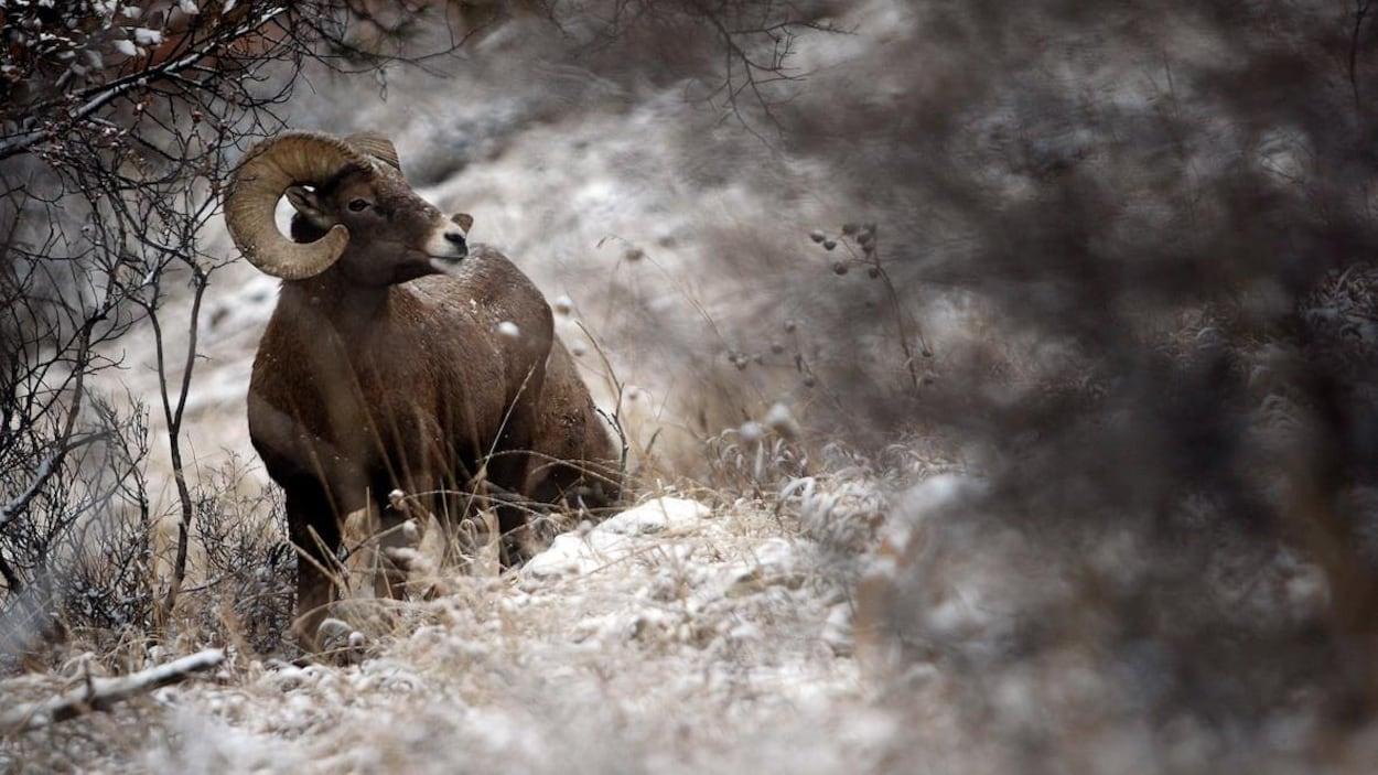 Un mouflon sauvage.