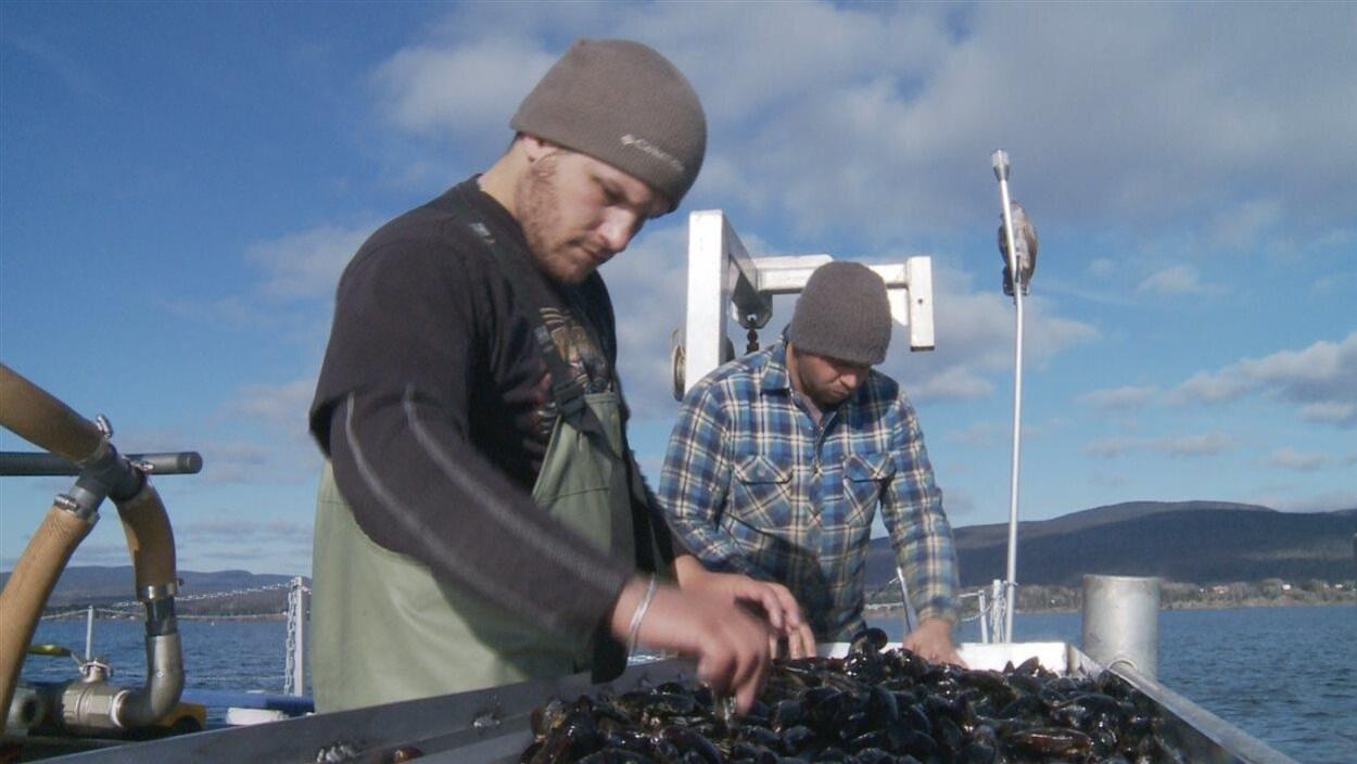 Récolte de moules dans la baie de la Gaspé