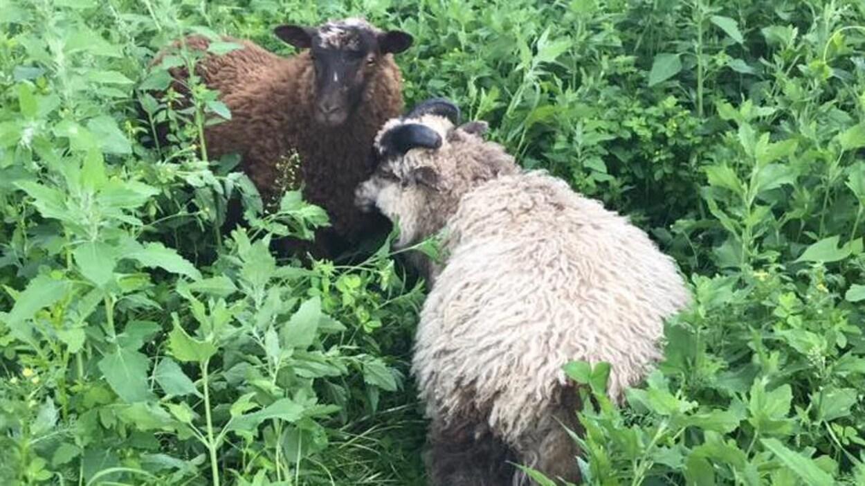 Les deux moutons, un brun et un blanc, dans les hautes herbes.