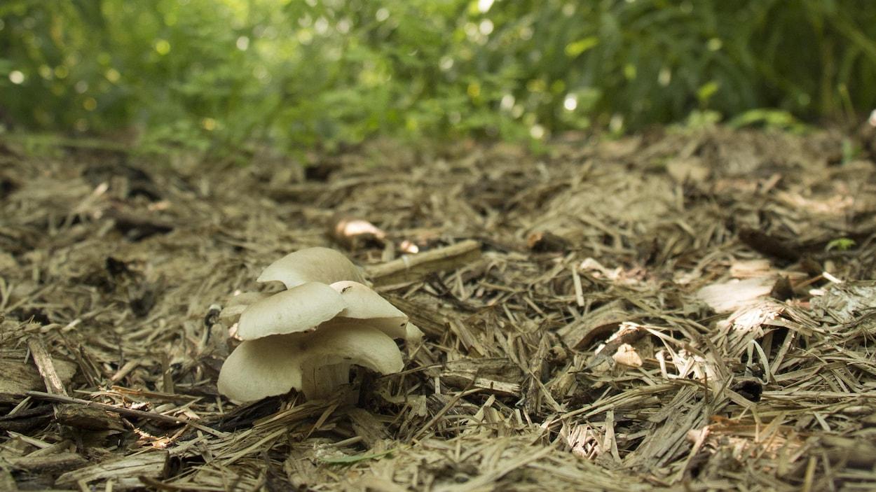 Des champignons utilisés pour la décontamination des sols