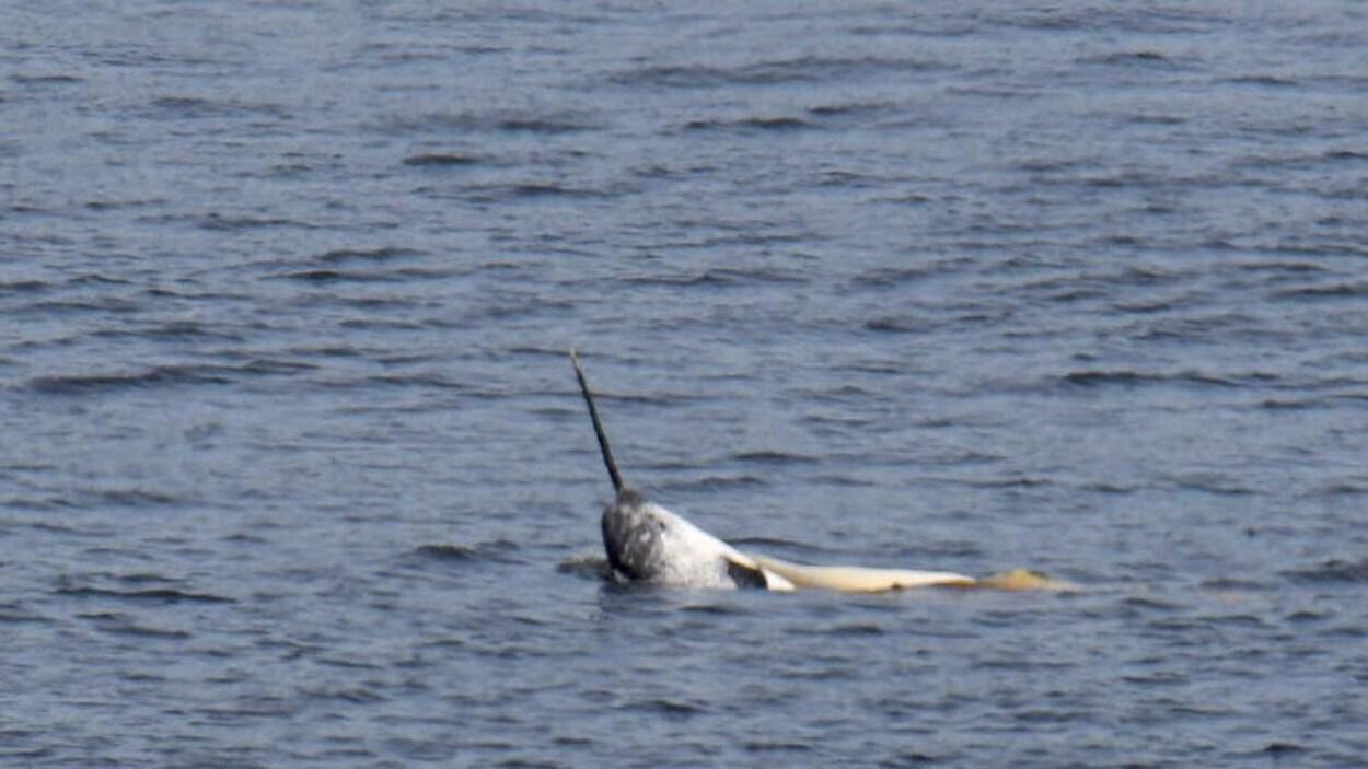 Un narval sort sa tête et sa corne de l'eau.