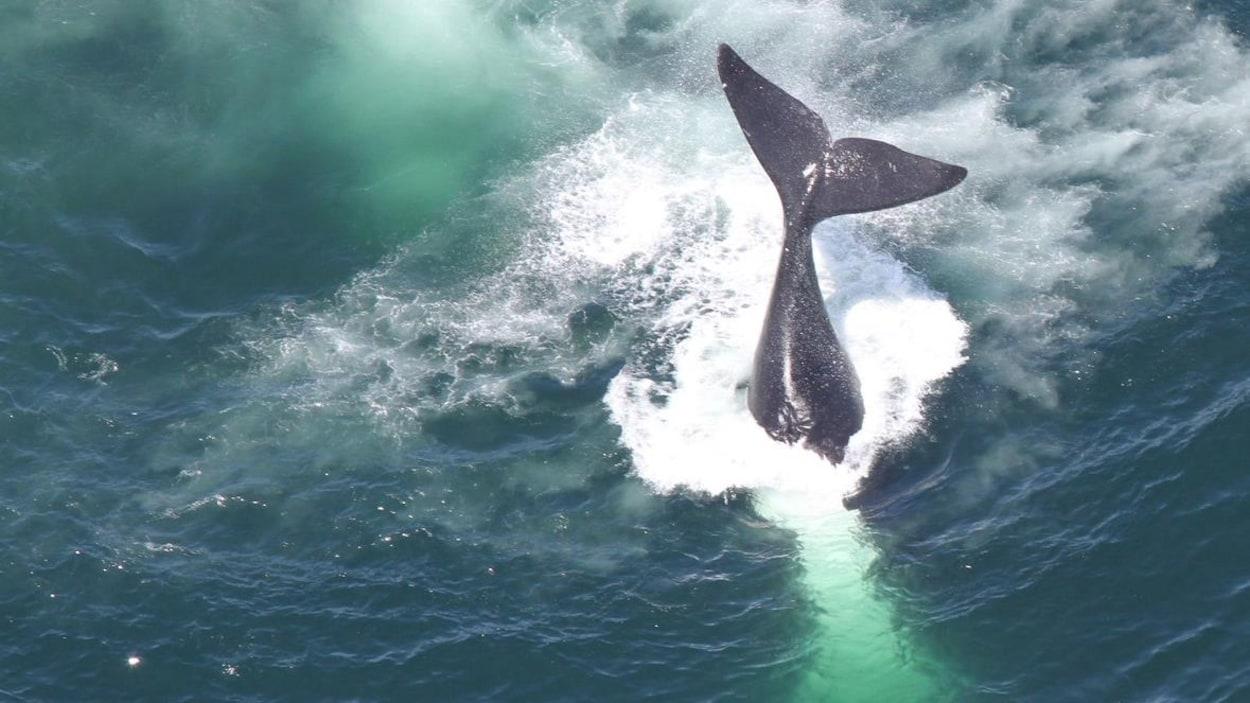 Queue d'une baleine sortant de l'eau.
