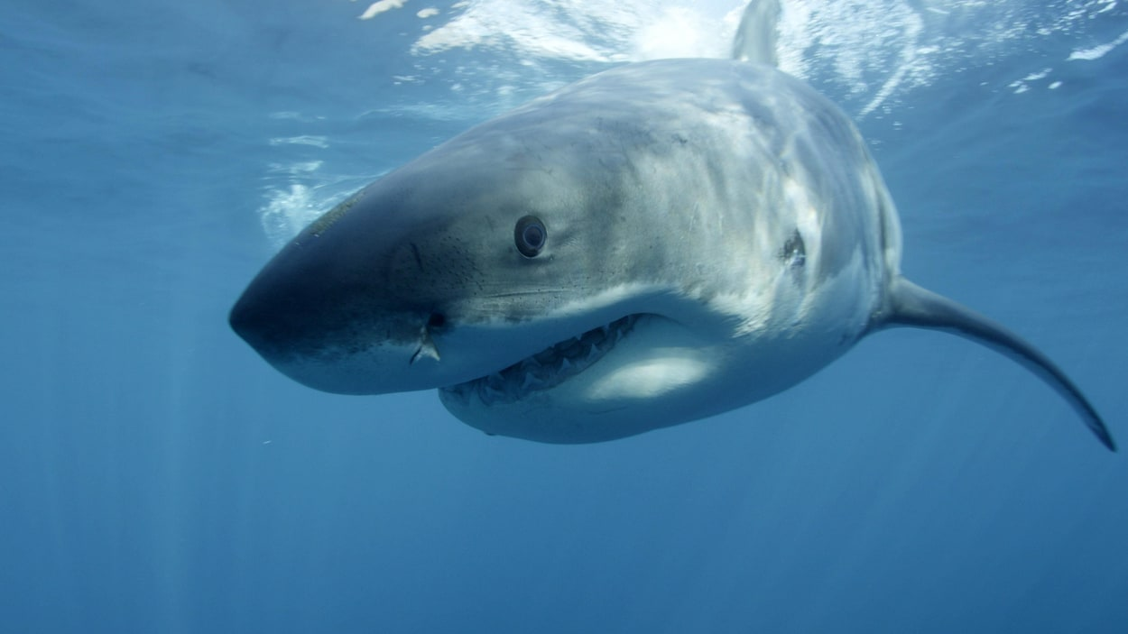 Gros plan d'un grand requin blanc