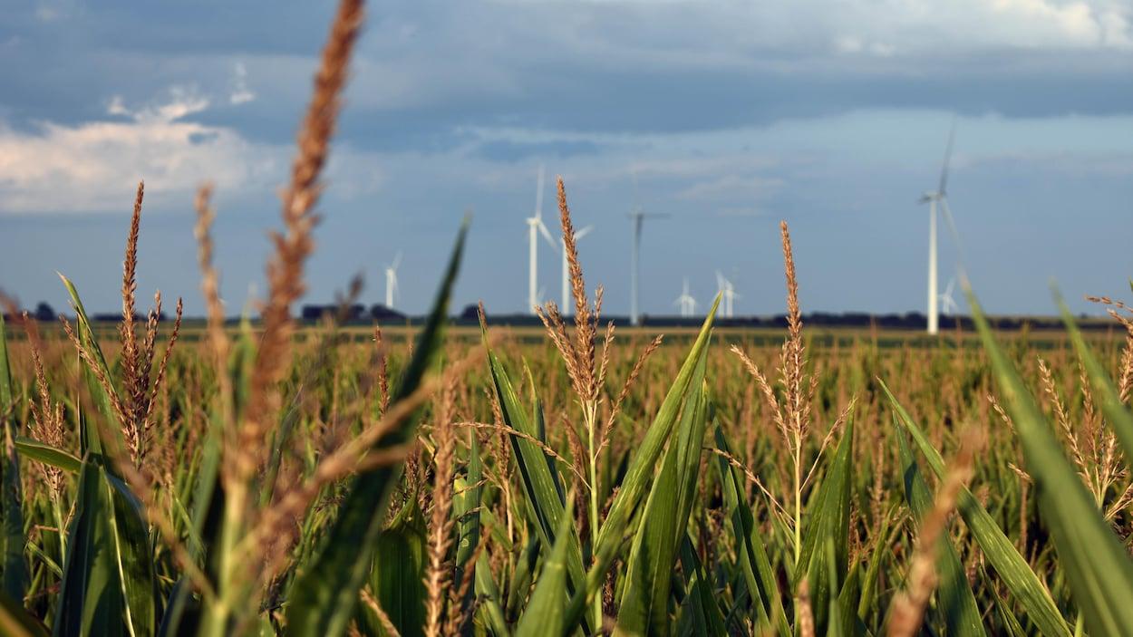Un champ de maïs du Nebraska, avec des éoliennes en arrière-plan.