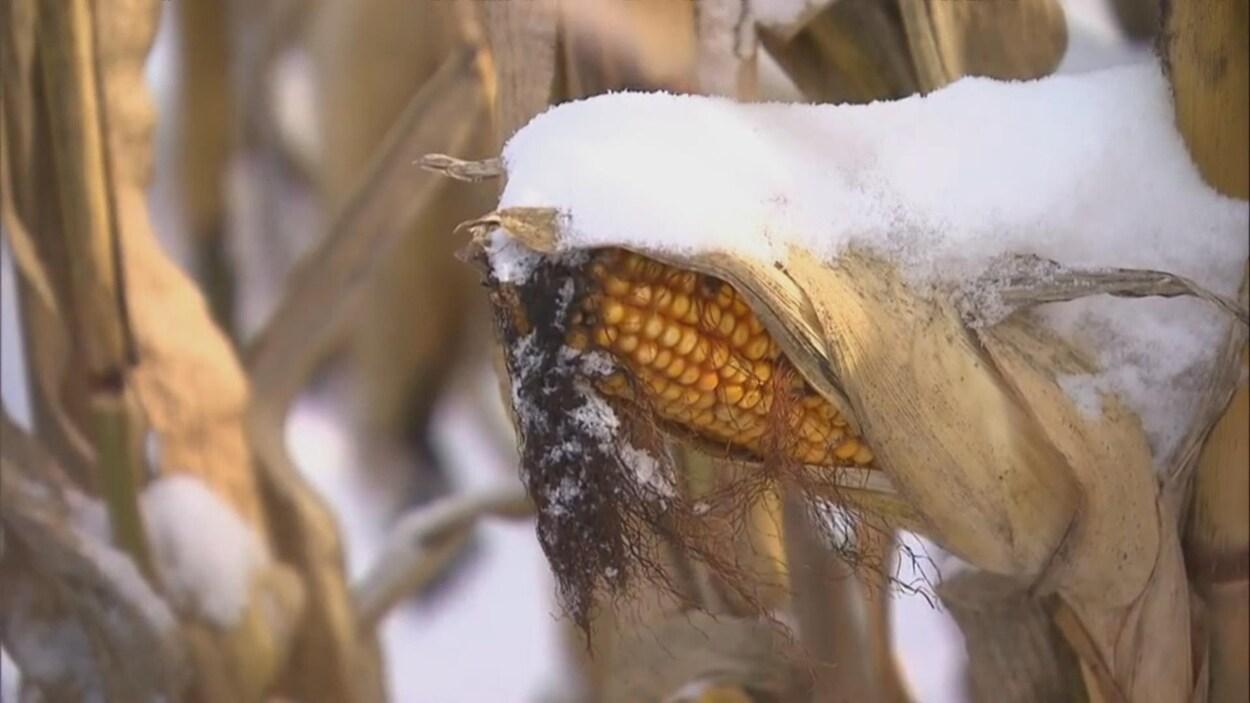 Un épi de maïs avec de la neige dessus.