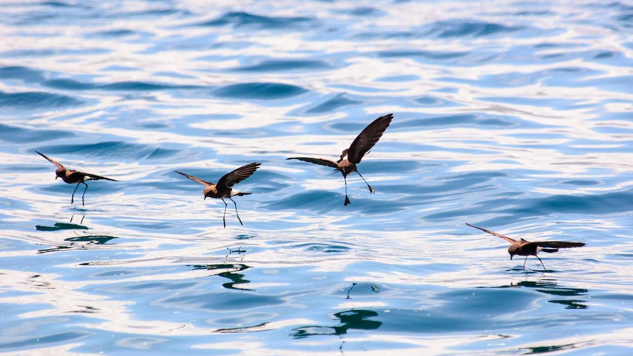 Gros plan sur quatre océanites cul-blanc qui volent en effleurant la surface de la mer
