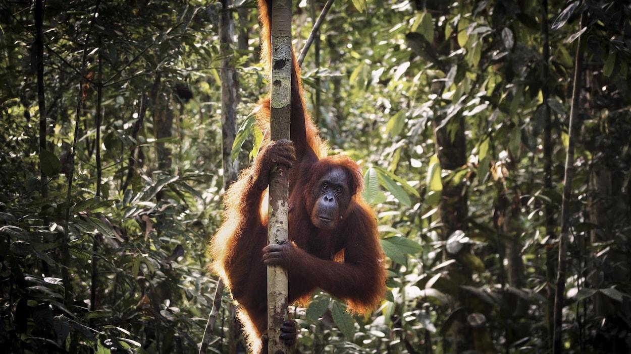 Un orang-outan dans la forêt.
