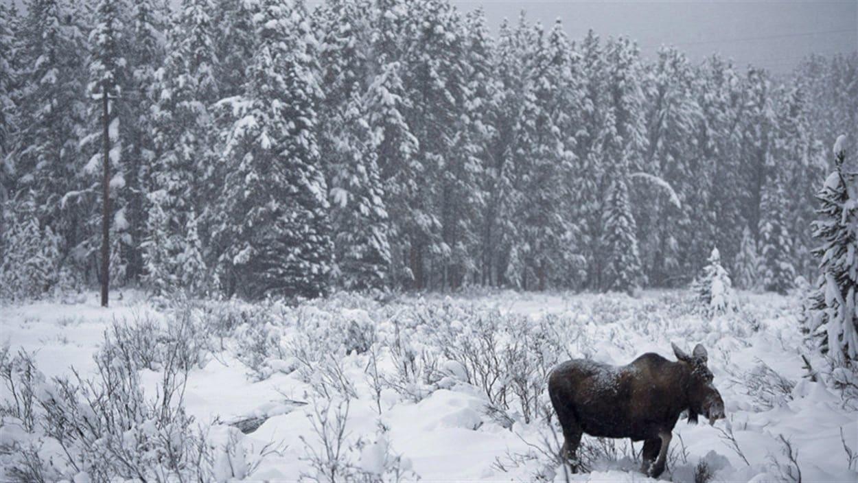 Un orignal au Yukon l'hiver