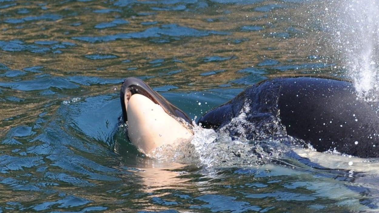 Une orque qui transporte la carcasse de son petit sur son nez
