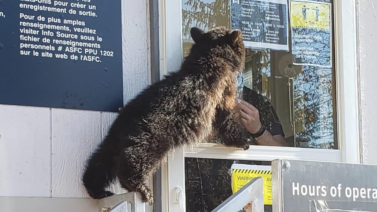 L'ours regarde par la fenêtre d'un agent frontalier.