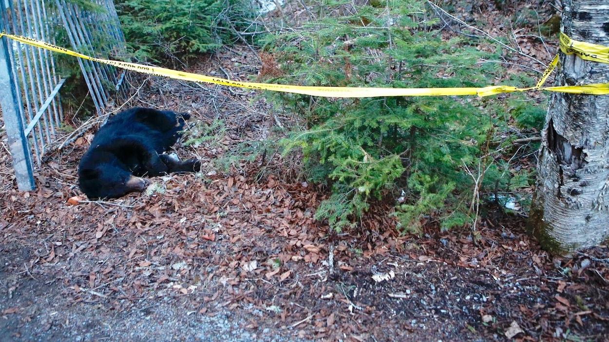 L'ours avait l'habitude de se promener près des résidences.
