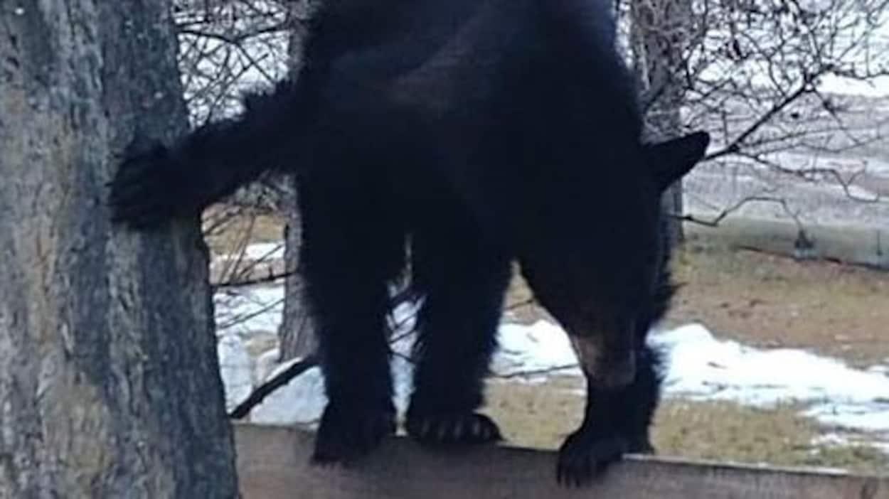 Un ours debout sur une clôture en bois, de la neige en arrière-plan.