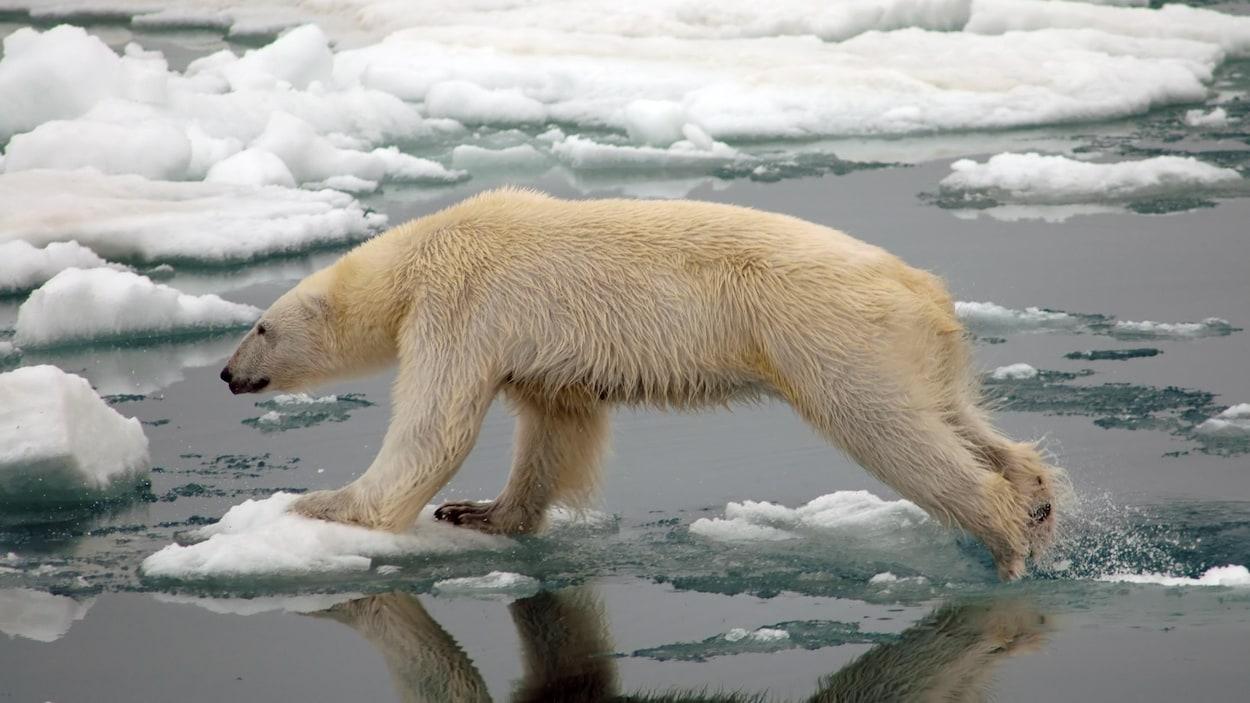 Un ours polaire bondit d'un morceau de glace à un autre dans l'Arctique