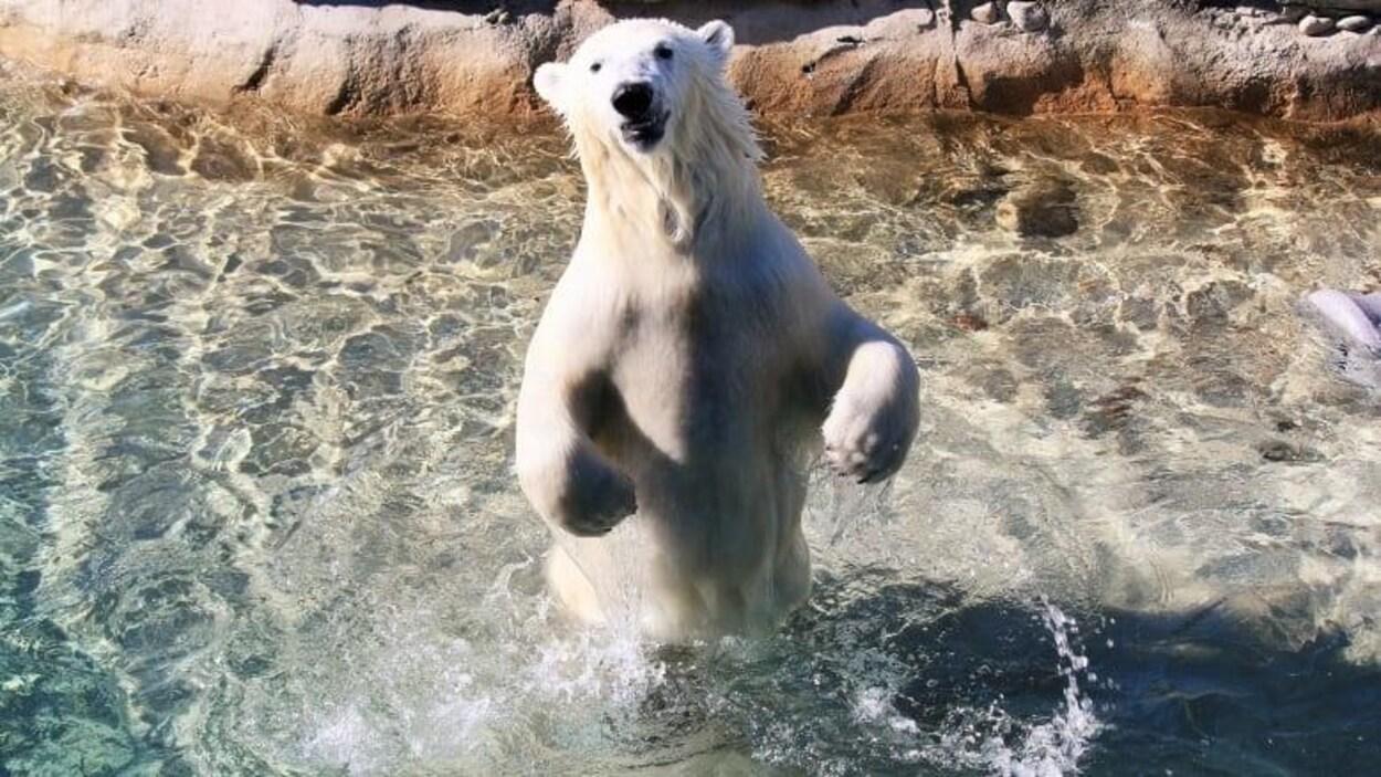 Un ours polaire est debout dans l'eau.