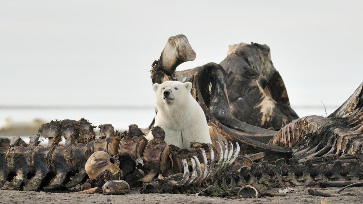 Un ours polaire parmi des os