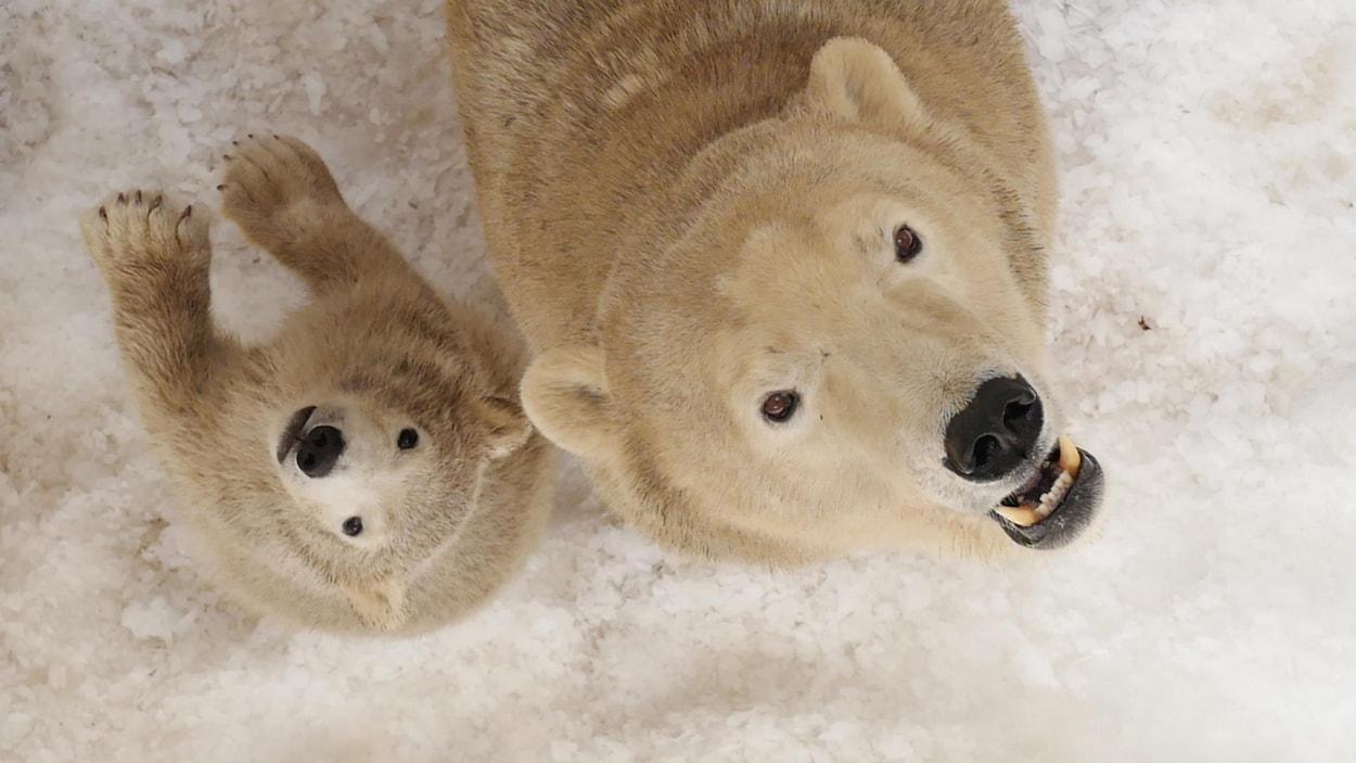 Une femelle ours blanc et son ourson.