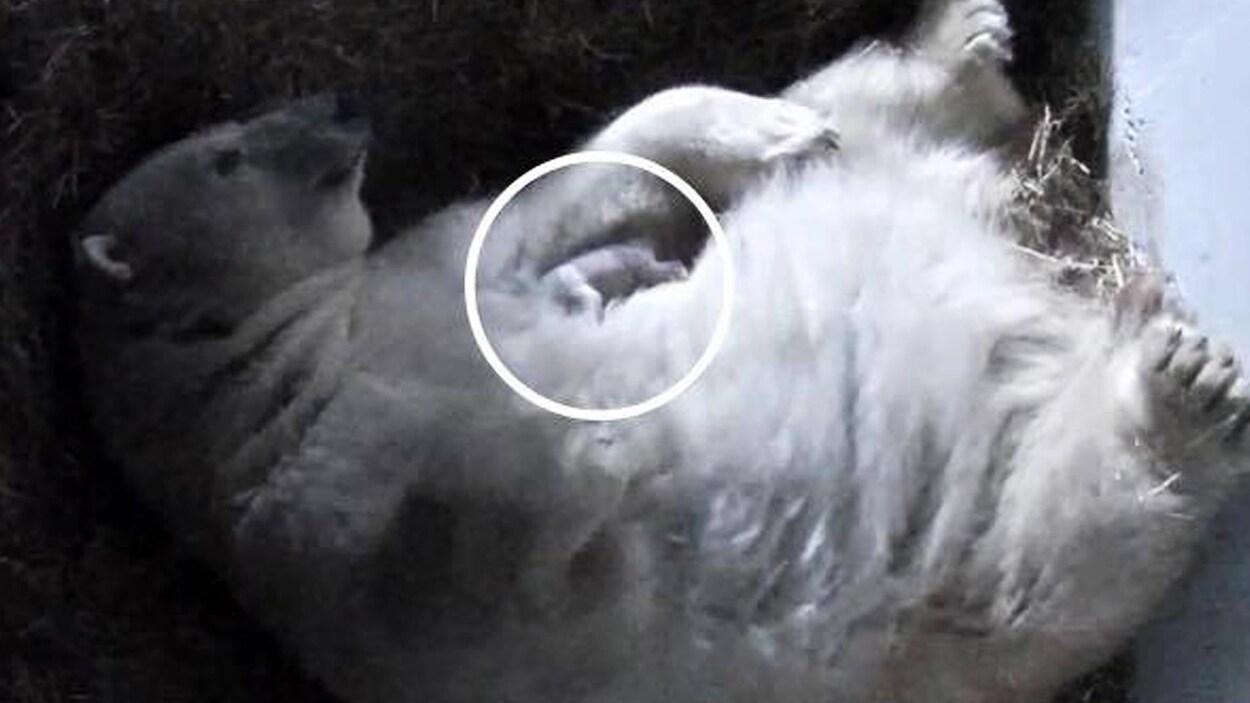 Le petit ourson dort contre sa mère.