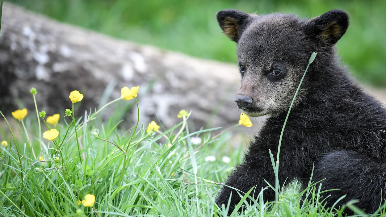 Un ourson au pelage noir assis dans l'herbe