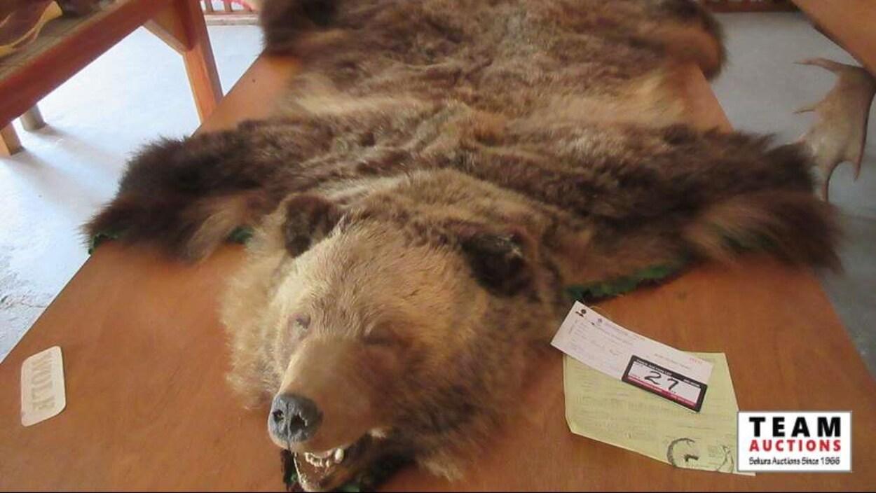 Une peau d'ours brun avec la tête empaillée.