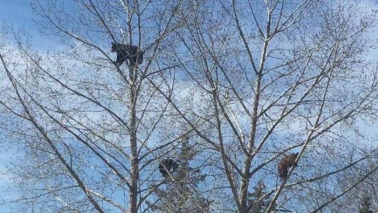 Trois oursons perchés dans les arbres sur le terrain de golf Clear Lake dans le parc du Mont Riding.