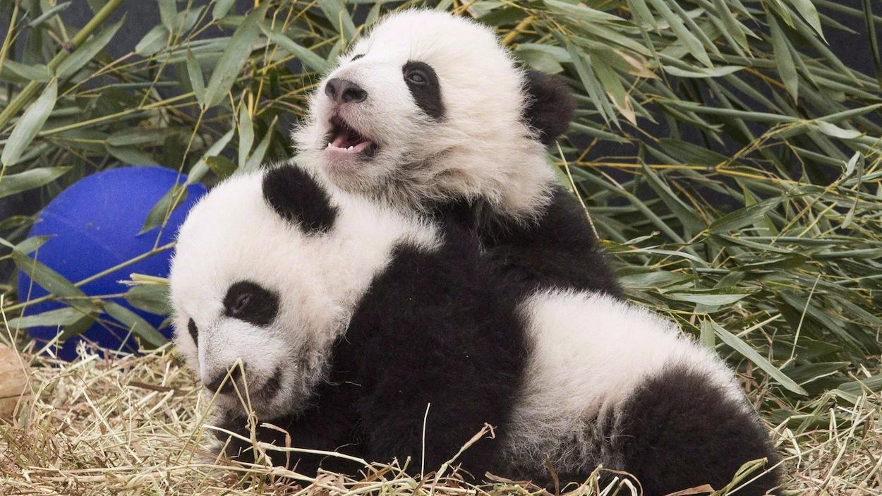 Photo des pandas Jia Panpan et Jia Yueyue qui jouent l'un sur l'autre.