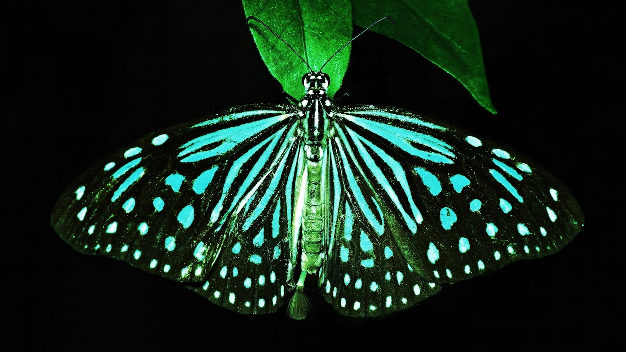Un papillon noir et bleu sur une feuille.