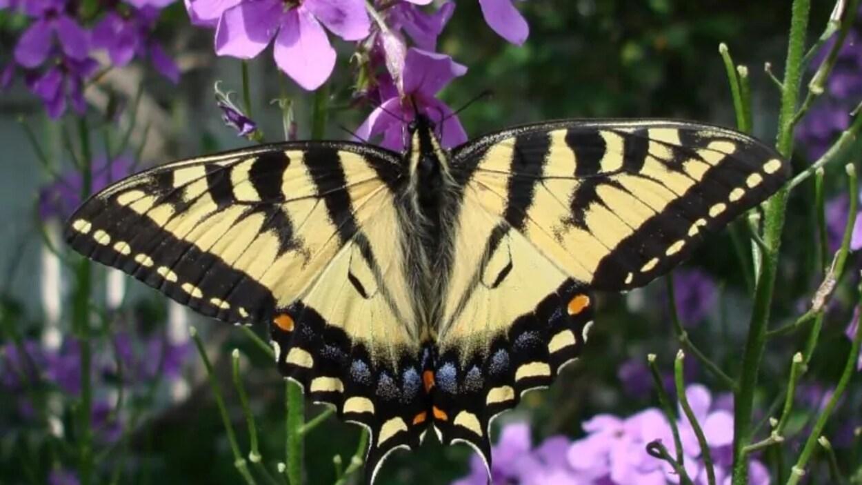 Un papillon butine une fleur.