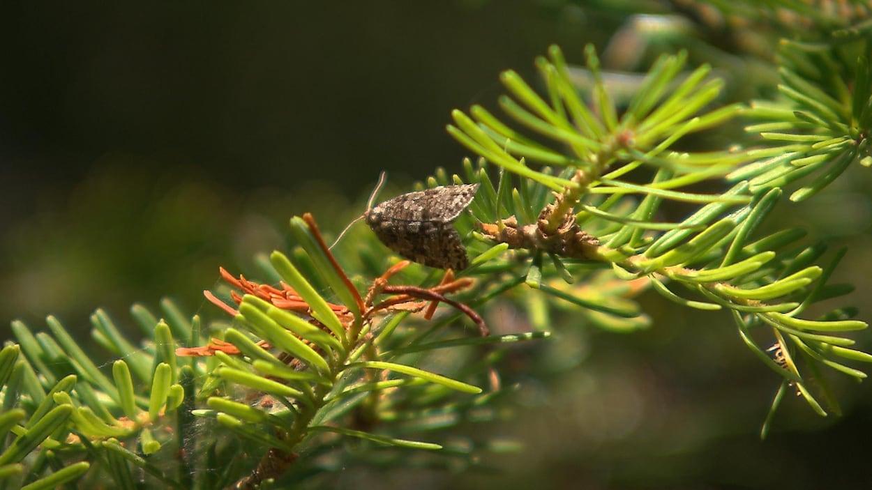Un papillon de la tordeuse des bourgeons de l'épinette est perché sur une branche de conifère.