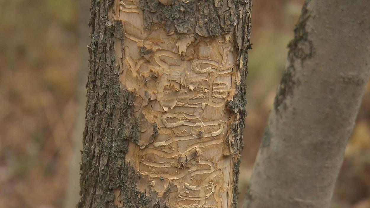 Des cicatrices en serpentins marquent un frêne.