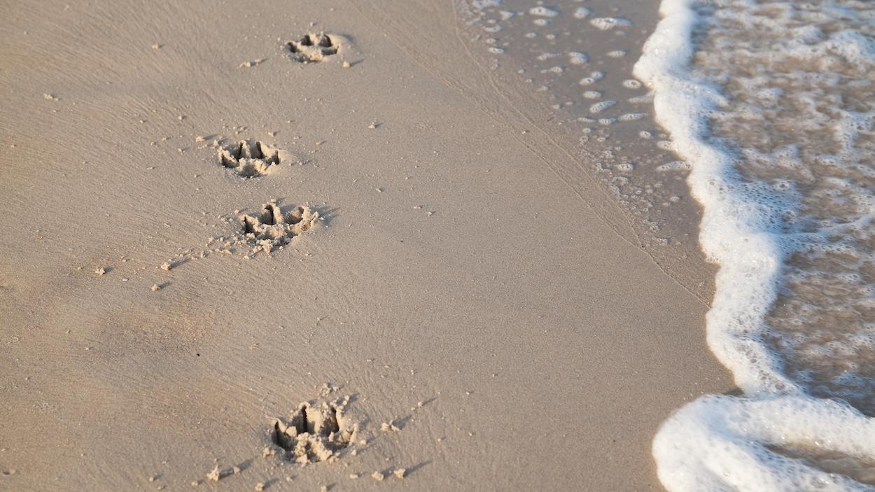 Traces de pattes d'un chien sur le sable d'une plage.