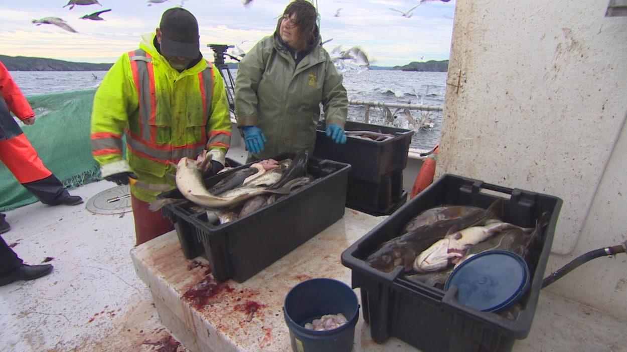 Des pêcheurs de morue placent leurs prises dans des bacs à Triton, à Terre-Neuve-et-Labrador.