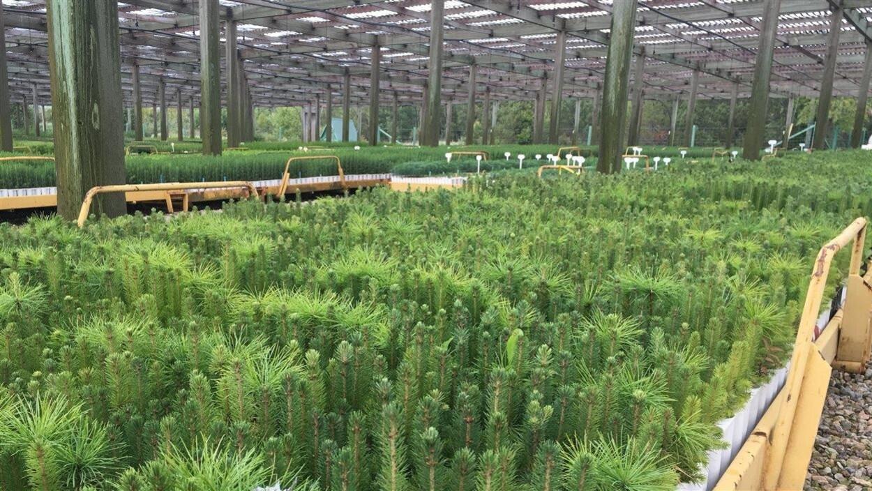 17 m pour les p pini res foresti res qu b coises ici On pepiniere pour artisanat