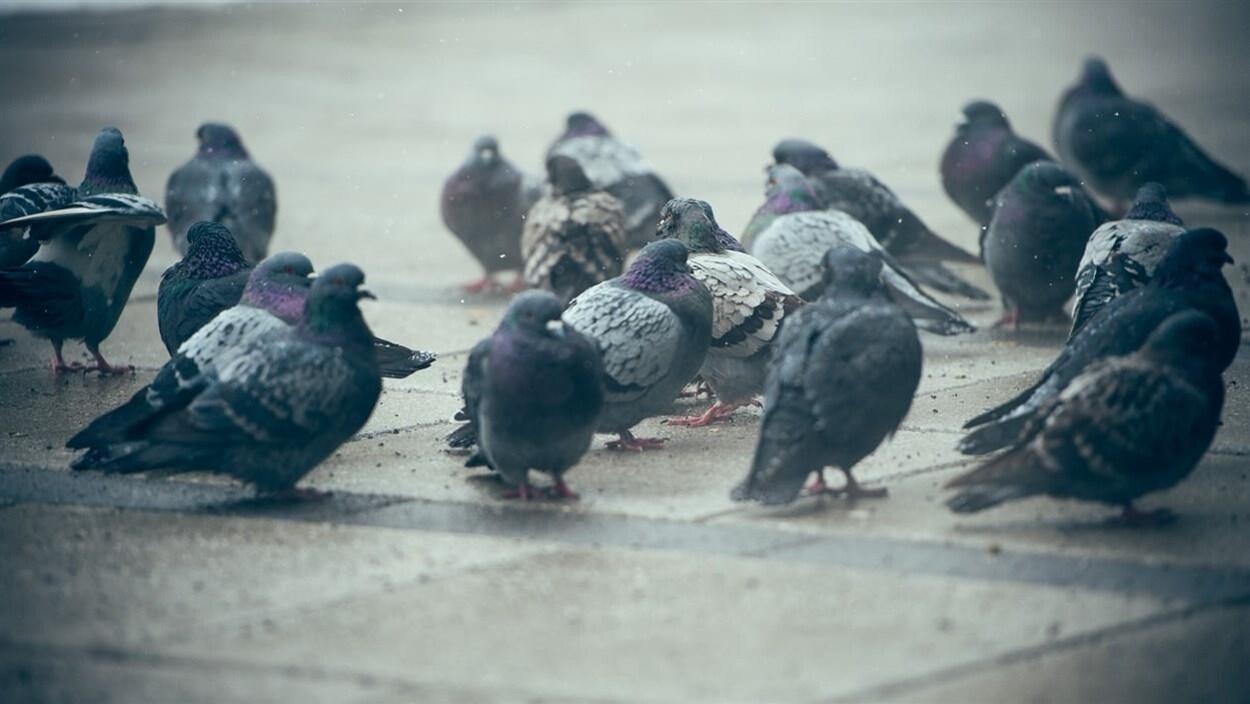 Des pigeons sur le sol.