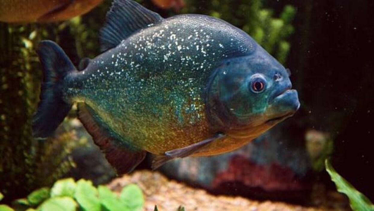 Le poisson Piranha rouge
