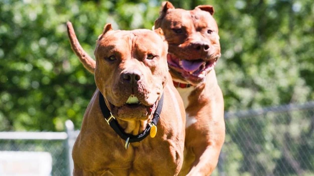 Big Daddy et Trinity, deux pitbulls.