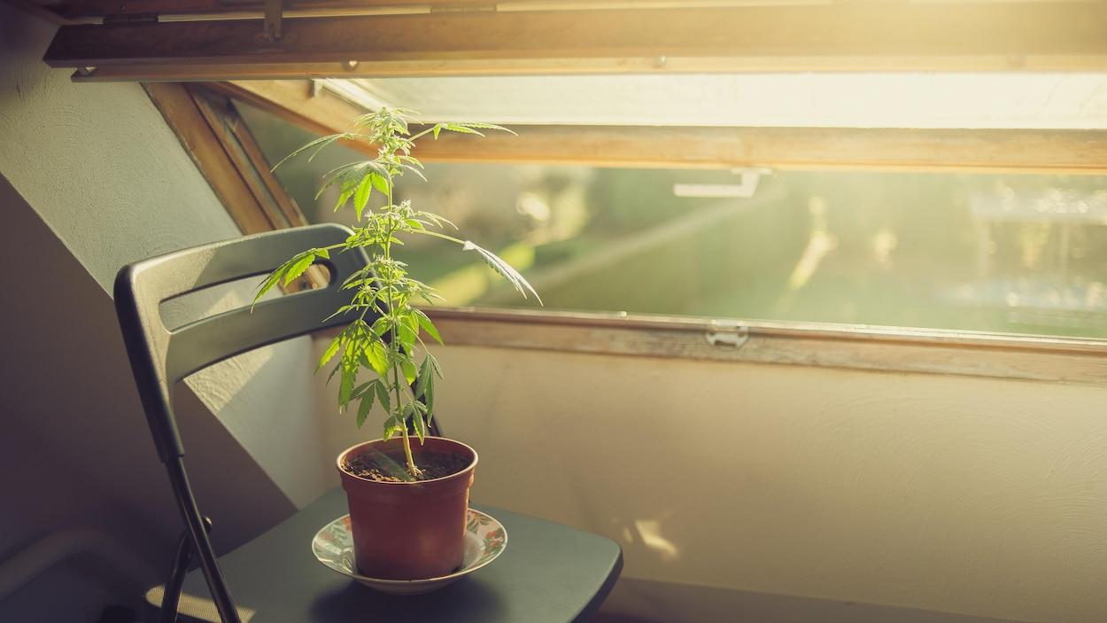 Un plant de cannabis posé sur une chaise au soleil près d'une fenêtre ouverte. (Archives)