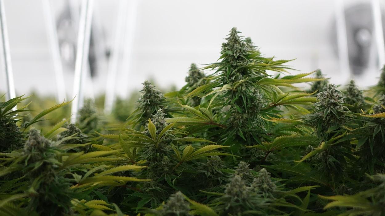Des plants de cannabis cultivés en serre