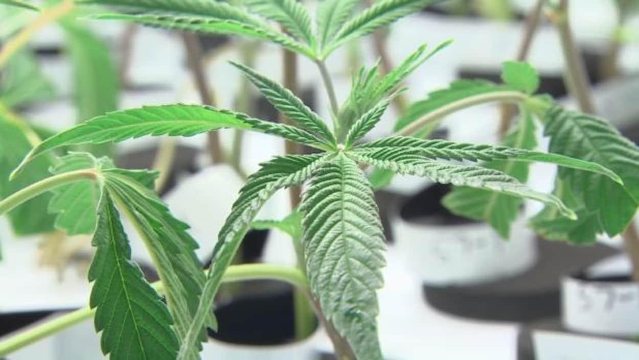 L 39 australie veut devenir un leader en mati re de cannabis for Plante 9 feuilles