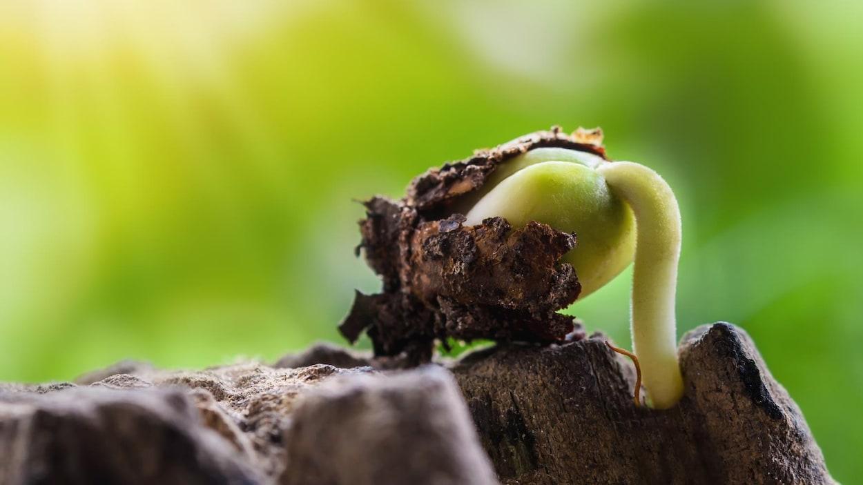 Une jeune plante se développe à partir de sa graine.