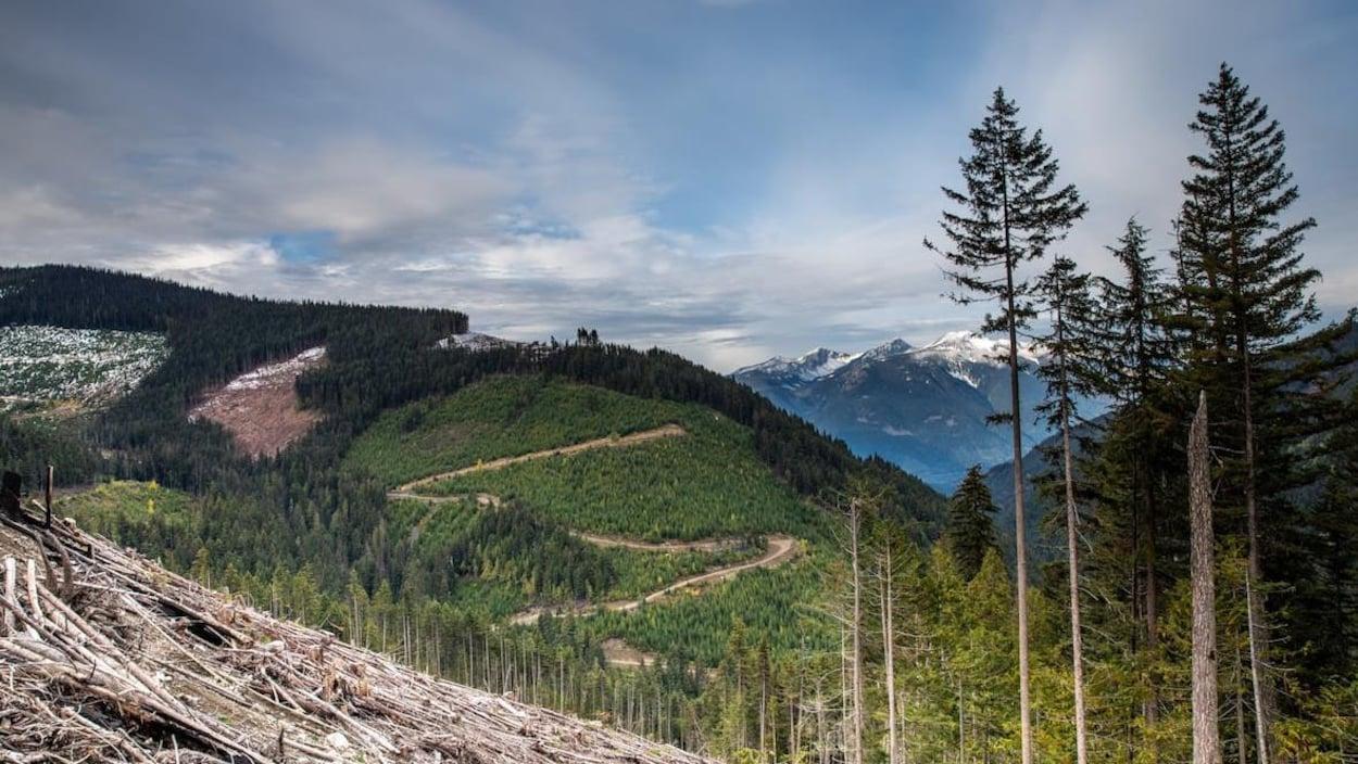 Des arbres, certains plus jeunes que d'autres, à flancs de montagne. En arrière-plan, des pics enneigés.