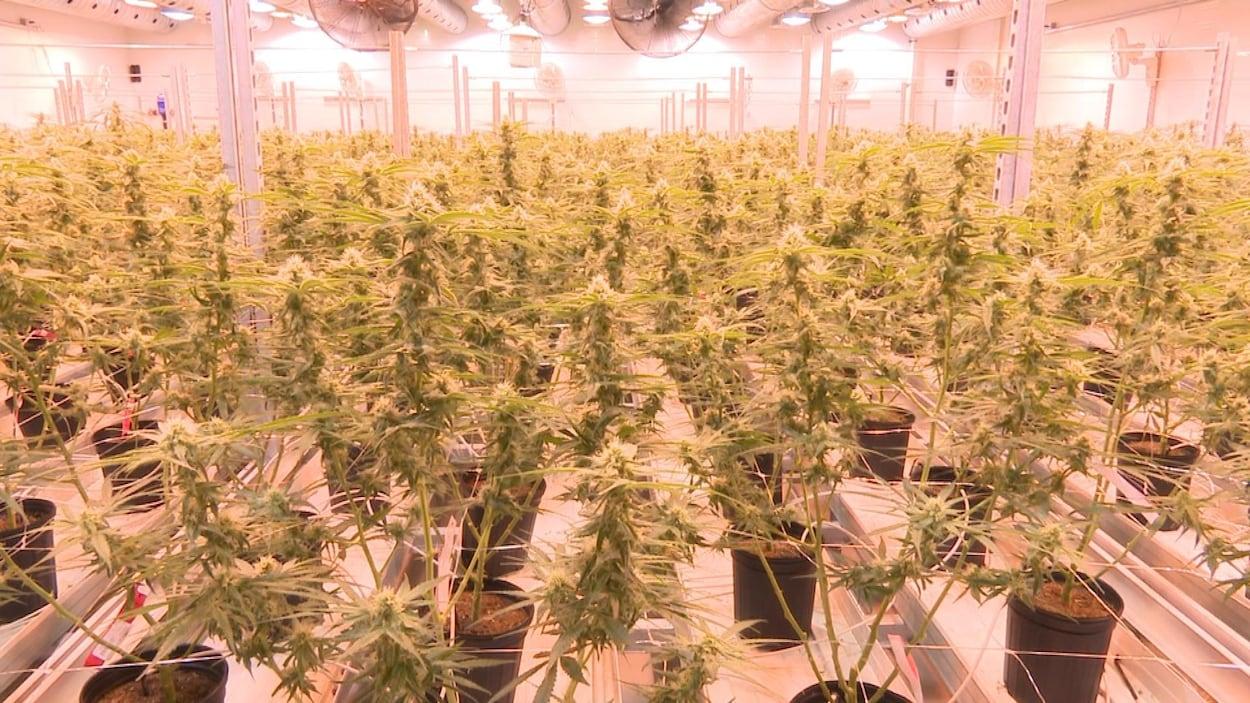 Les plants de cannabis à l'usine de Tweed
