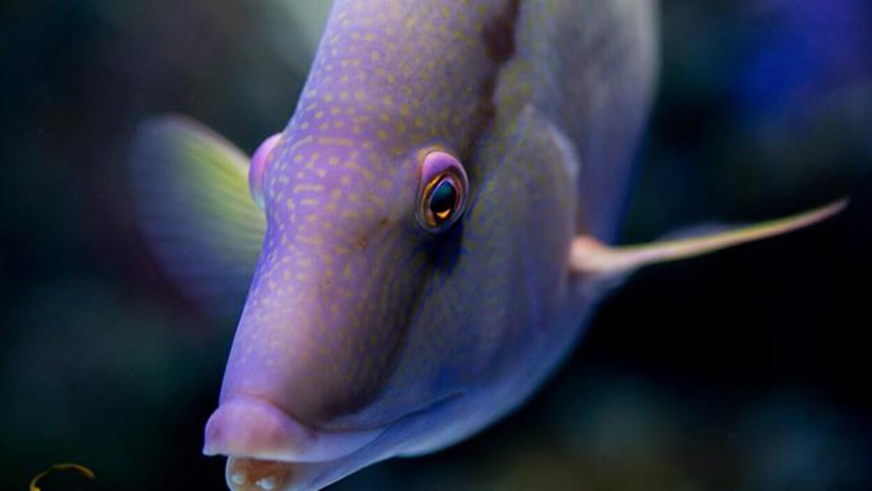 Un poisson-capitaine.