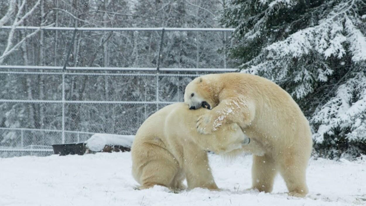 Deux ours jouent ensemble dans l'enclos.