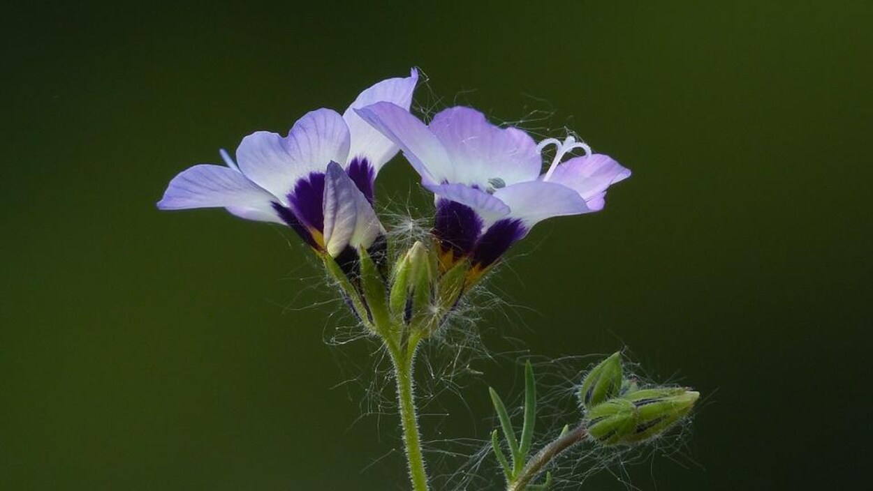 La polémoine est une fleur rare.