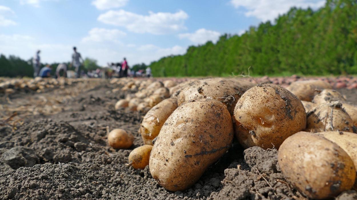 Pommes de terre dans un champ.