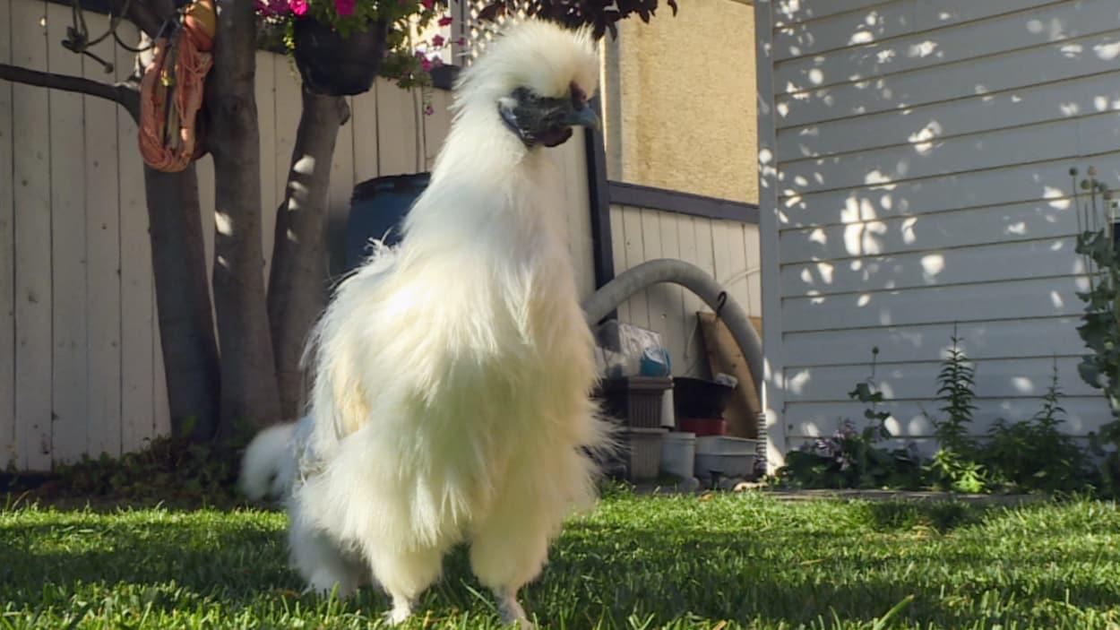 Une poule blanche à crête blanche explore une pelouse verte.